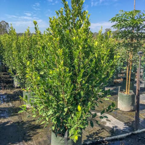 Ficus hillii Flash 45lt