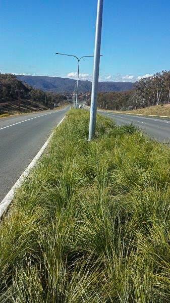 Lomandra Verday Road planting