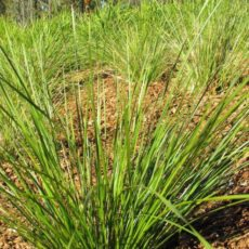 Lomandra Verday at Downes Nursery