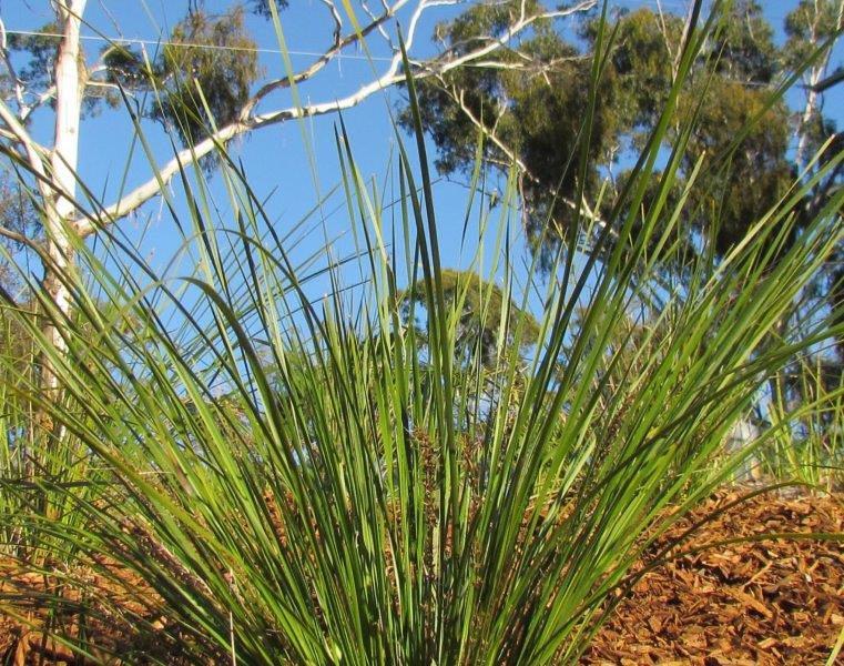 Lomandra Verday foliage