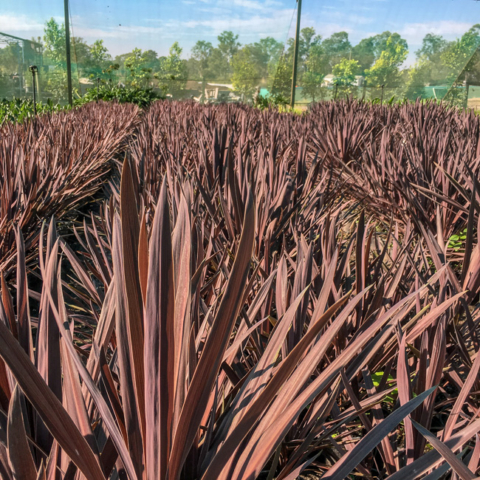 Cordyline Red Sensation 200mm