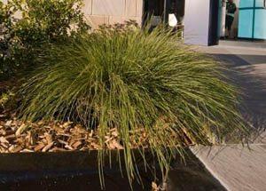 Lomandra confertifolia rubiginosa Crackerjack