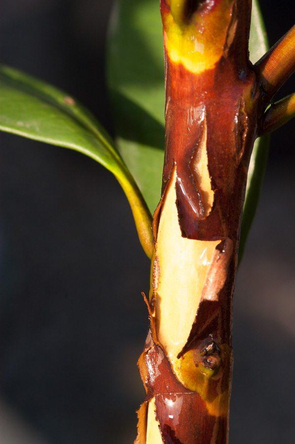 tristaniopsis laurina luscious bark