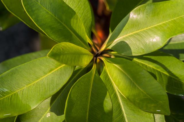 tristaniopsis laurina luscious