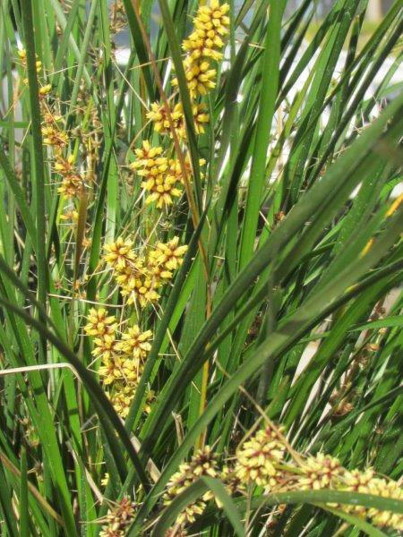 Lomandra Verday Flowers