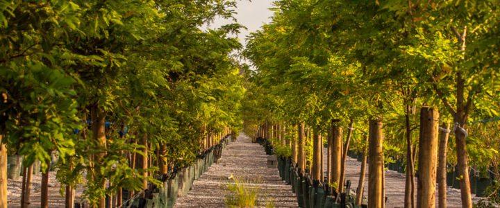 200lt trees Downes Wholesale Nursery